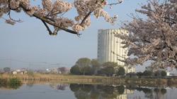 西沼からの桜